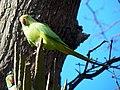 GOC Richmond 172 Ring-necked Parakeet (Psittacula krameri) (14687663324).jpg
