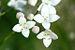 Galium.uliginosum.-.lindsey.jpg