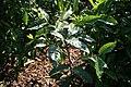 Gardenia Ulu-Lani 1zz.jpg