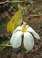 Gardenia gummifera 24.JPG