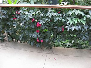 Ipomoea horsfalliae - Image: Gardenology IMG 4850 hunt 10mar