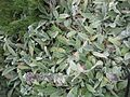 Gardenology.org-IMG 2741 rbgs11jan.jpg