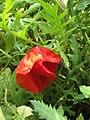 Gardenology.org-IMG 5268 hunt0904.jpg