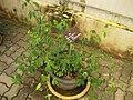 Gardenology.org-IMG 7694 qsbg11mar.jpg