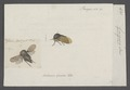 Gargara - Print - Iconographia Zoologica - Special Collections University of Amsterdam - UBAINV0274 042 04 0012.tif