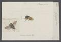 Gargara - Print - Iconographia Zoologica - Special Collections University of Amsterdam - UBAINV0274 042 04 0012.tif