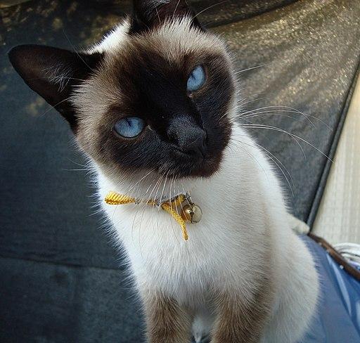 Gato Siamés ojos azules