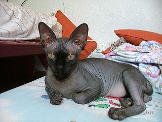Sphynx - bezsrsté plemeno mačky