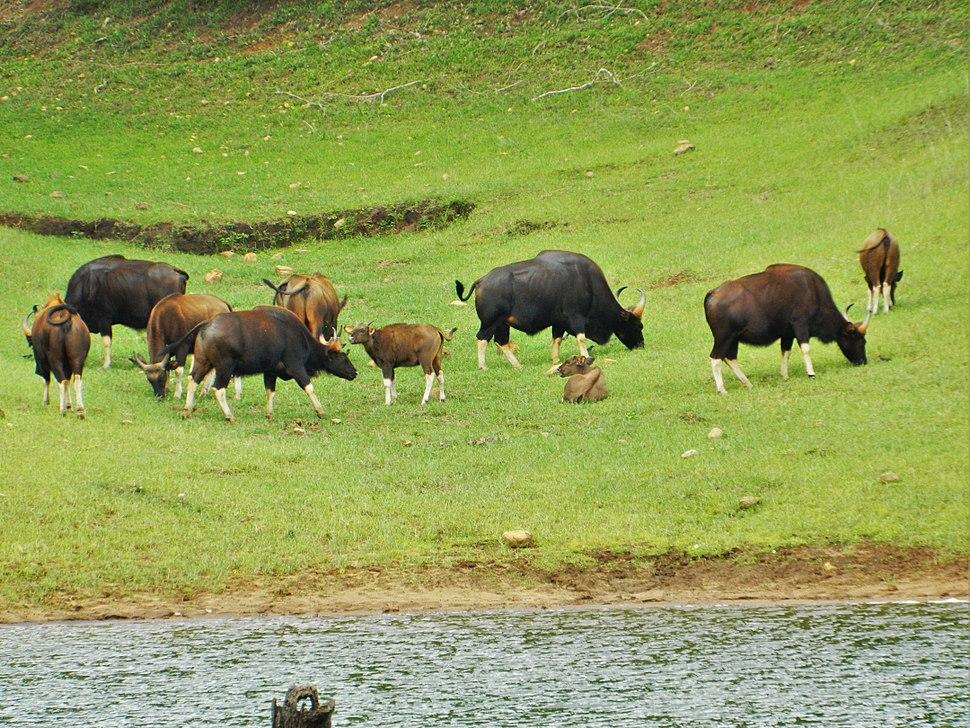 Gaur (Indian Bison) at Periyar National Park & Wildlife Sanctuary