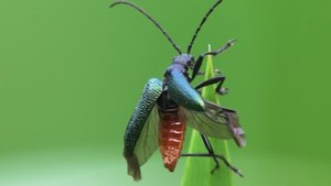 File:Gaurotes virginea, Burgwald, Hesse, Germany - 20100624.ogv