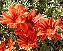 Gazania x Copper King.jpg