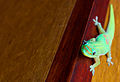 Gecko - Flickr - Joe Parks.jpg