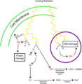Generation of reactive oxygen species (ROS) in response to ionizing radiation.webp