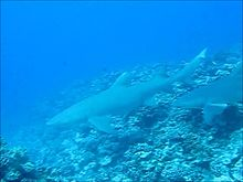 File:Genetic-Network-and-Breeding-Patterns-of-a-Sicklefin-Lemon-Shark-(Negaprion-acutidens)-Population-pone.0073899.s007.ogv