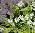 Gentiana algida (bee).JPG