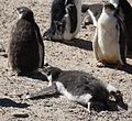 Gentoo Penguin chick trying to cool off (5557758546).jpg