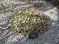 Geranium sessiliflorum ssp. novae-zelandiae (14243006018).jpg