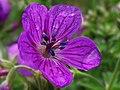 Geranium sylvaticum - geranio del bosque (9685785778).jpg