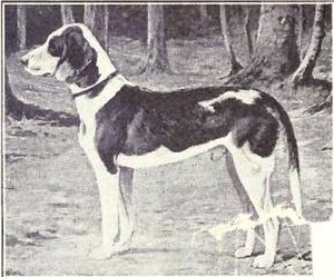German Hound - German Hound from 1915