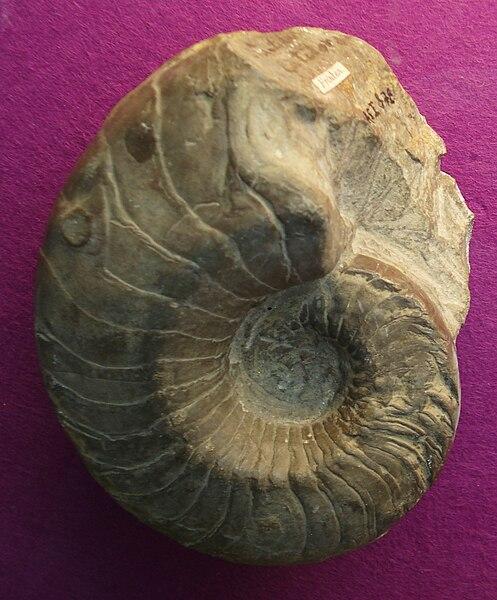 Urzeit-Quiz - Seite 4 497px-Germanonautilus_bidorsatus