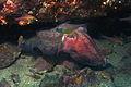 Giant Cuttlefish-sepia apama (11258129224).jpg