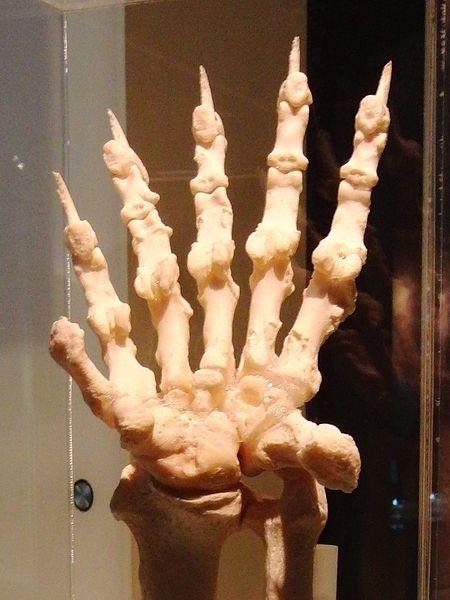 File:Giant panda Left hand Bone 2.jpg