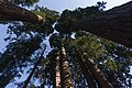 Giant sequoias in Giant Sequoia National Monument-1.jpg
