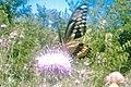 Giant swallowtail on thistle - Flickr - gurdonark.jpg