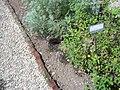 Giardino botanico di Brera (Milan) 313.jpg