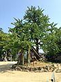 Ginkgo tree of Sukune in Iminomiya Shrine.jpg