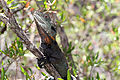 Gippsland Water Dragon (Intellegama lesueurii howitii) (8398176660).jpg