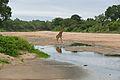 Giraffe (Giraffa camelopardalis) male crossing Biyamiti river (15989757763).jpg