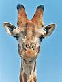 Giraffekapp.jpg
