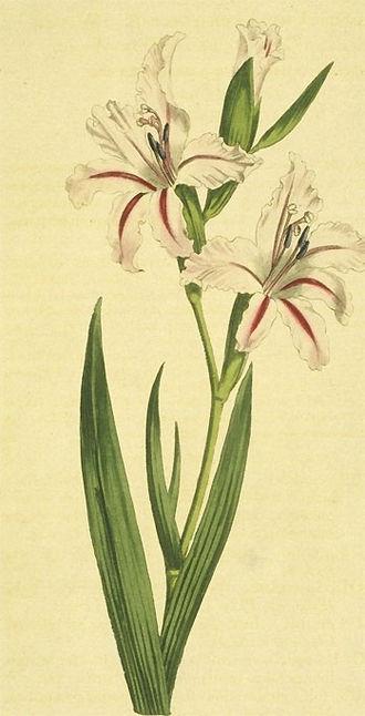 Gladiolus - Image: Gladiolus undulatus
