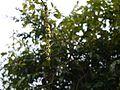 Glochidion ellipticum var. ellipticum (16017903927).jpg