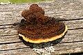 Gloeophyllum sepiarium - 20070610-01.jpg