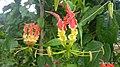 Gloriosa superba from Madikai Kasaragod.jpg