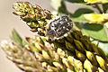 Glycyrrhiza flavescens - Yellow licorice - Sarı meyan 01.jpg