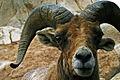 Goat eyes.jpg