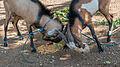 Goats fighting over food.jpg