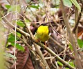 Golden-collared Manakin. Manacus vitellinus (27923736207).jpg