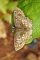 Golden Angle Golden Angle Caprona ransonnettii potiphera WSF Male by Dr. Raju Kasambe DSCN1840 (2).jpg