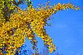 Golden leaves 2014 11.jpg