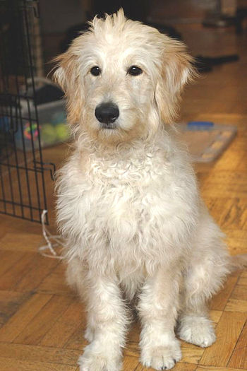 Goldendoodle Nanuk at 5 months