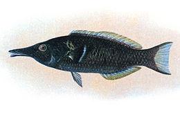 Gomphosus varius.jpg