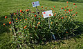 Gomphrena globosa 'Aurea Superba', Elfenau.jpg