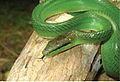 Gonyosoma oxycephalum from Barangay Binatug - ZooKeys-266-001-g085.jpg