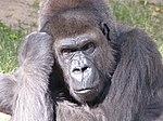Gorilla Thinker.jpg