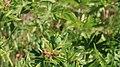 Grünes Heupferd Tettigonia viridissima 0761.jpg