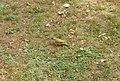 Grünspecht am Boden.jpg